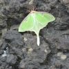 Luna Moth near shore